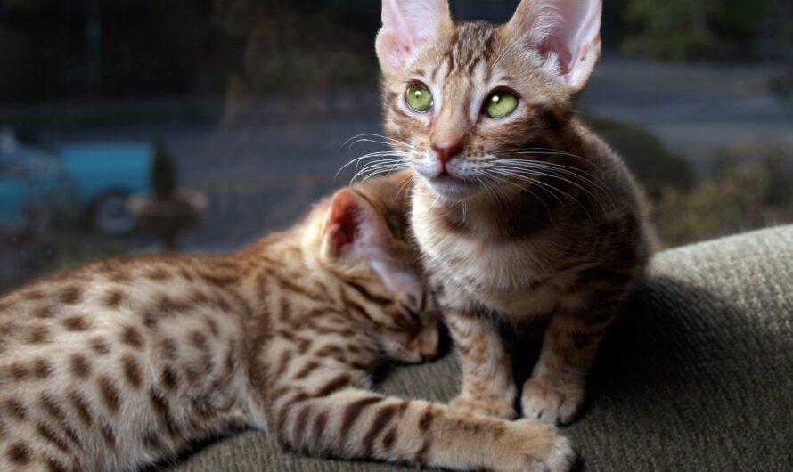 Recomendaciones para adoptar un gato